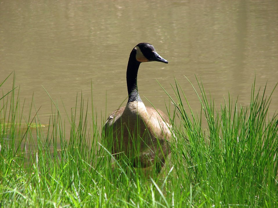 Close-up of a Canadian goose in the grass by a pond : Free Stock Photo