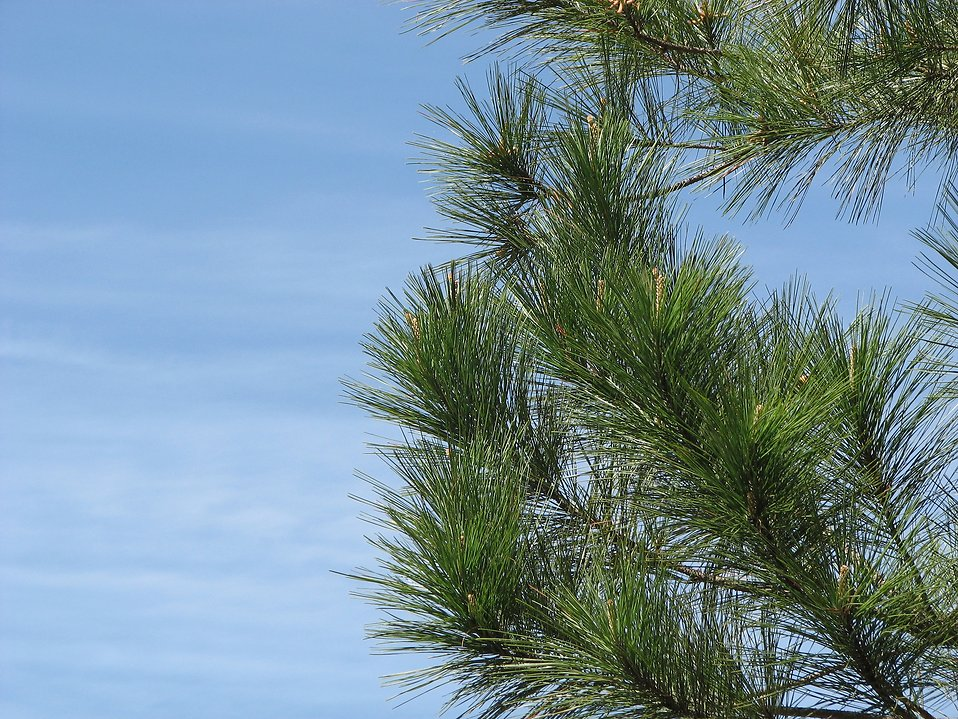 Close-up of a pine tree with a blue sky background : Free Stock Photo