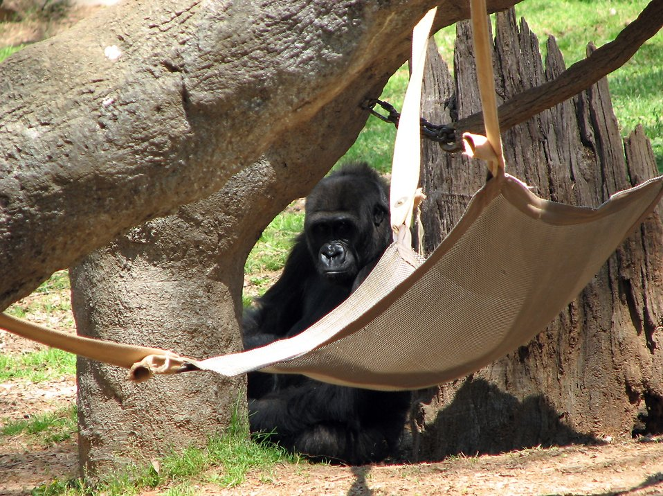 A gorilla sitting by a hammock : Free Stock Photo