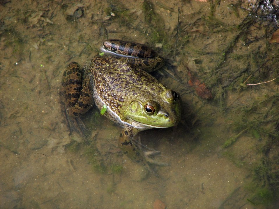 Closeup of a frog in water : Free Stock Photo