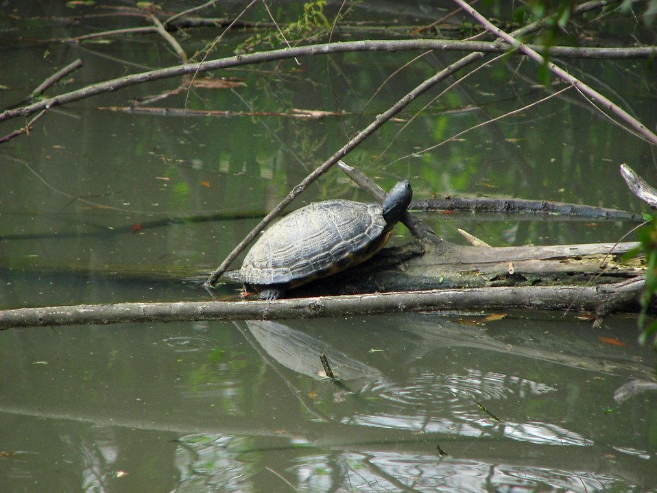 A turtle in a swamp : Free Stock Photo