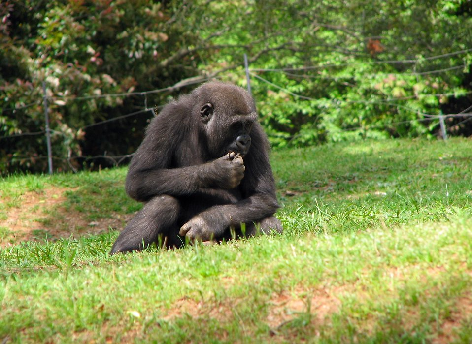 A young gorilla sitting in the grass : Free Stock Photo