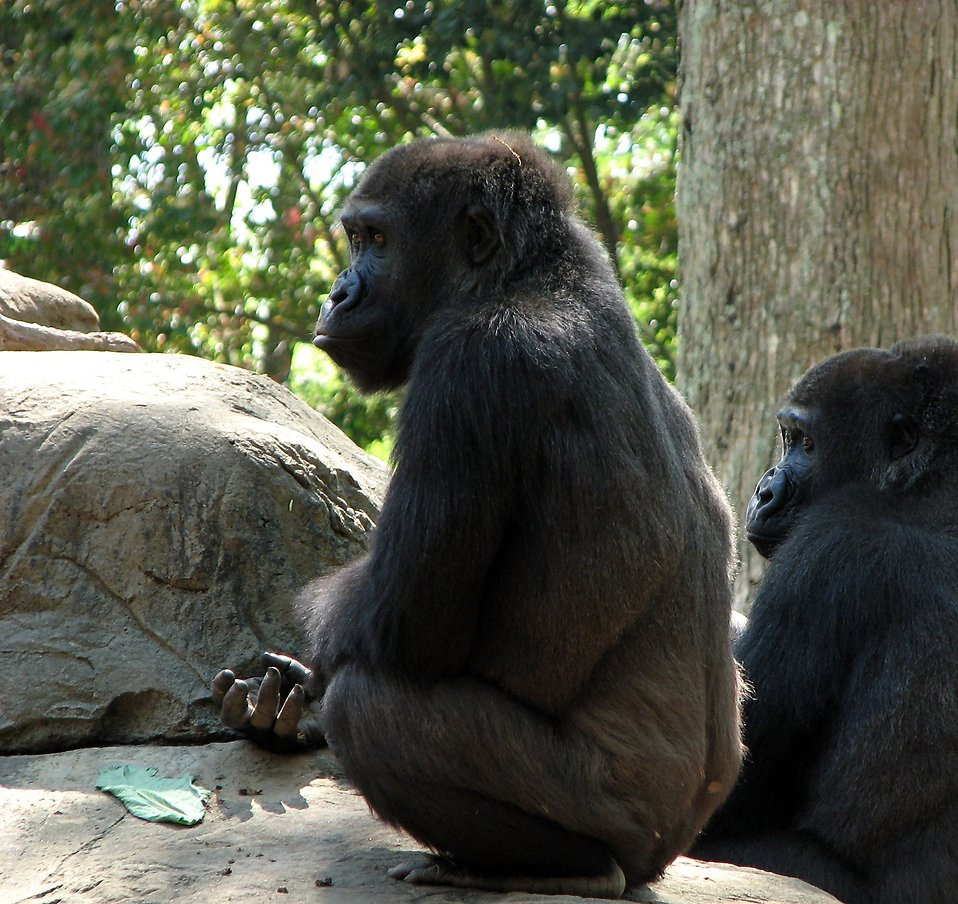 Closeup of two gorillas sitting on a rock : Free Stock Photo