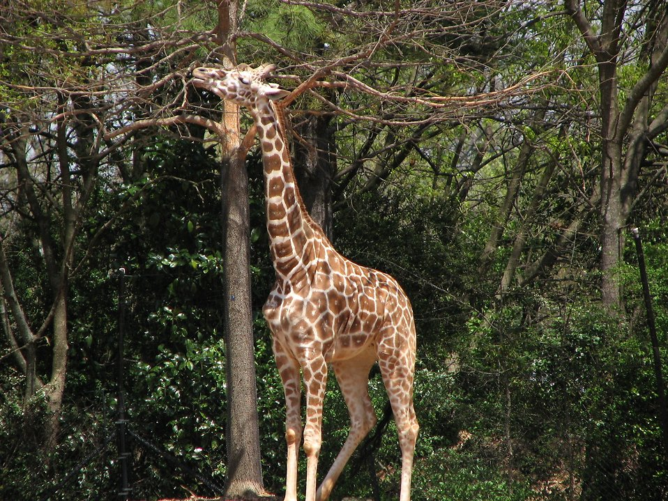 A giraffe eating off a branch in a tree : Free Stock Photo
