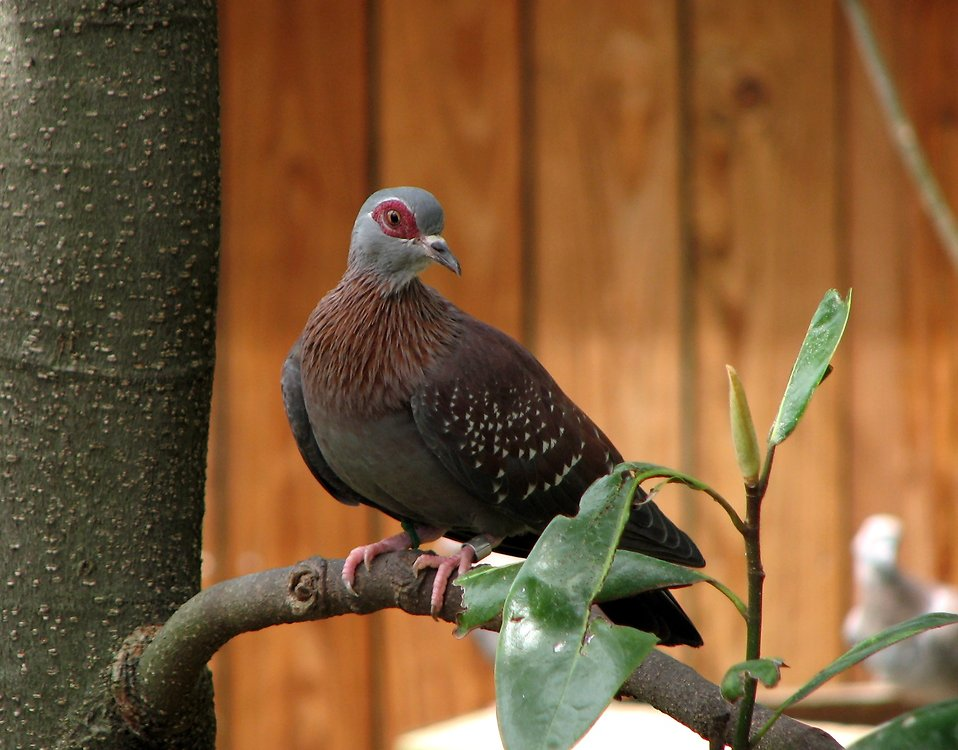 Closeup of a speckled pigeon perched on a branch : Free Stock Photo