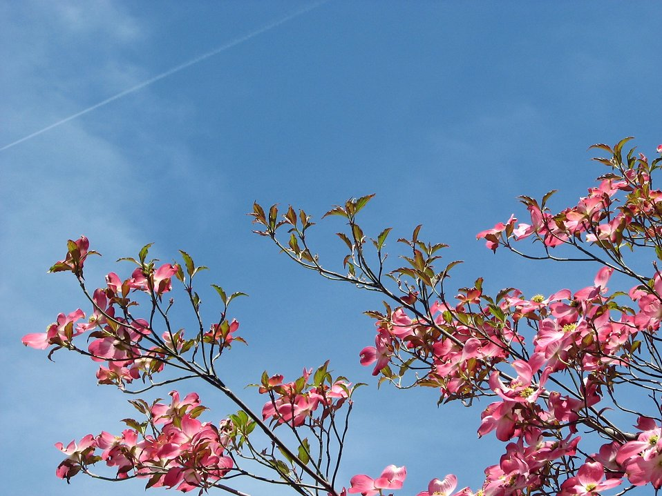 Pink dogwood tree flowers before a blue sky : Free Stock Photo