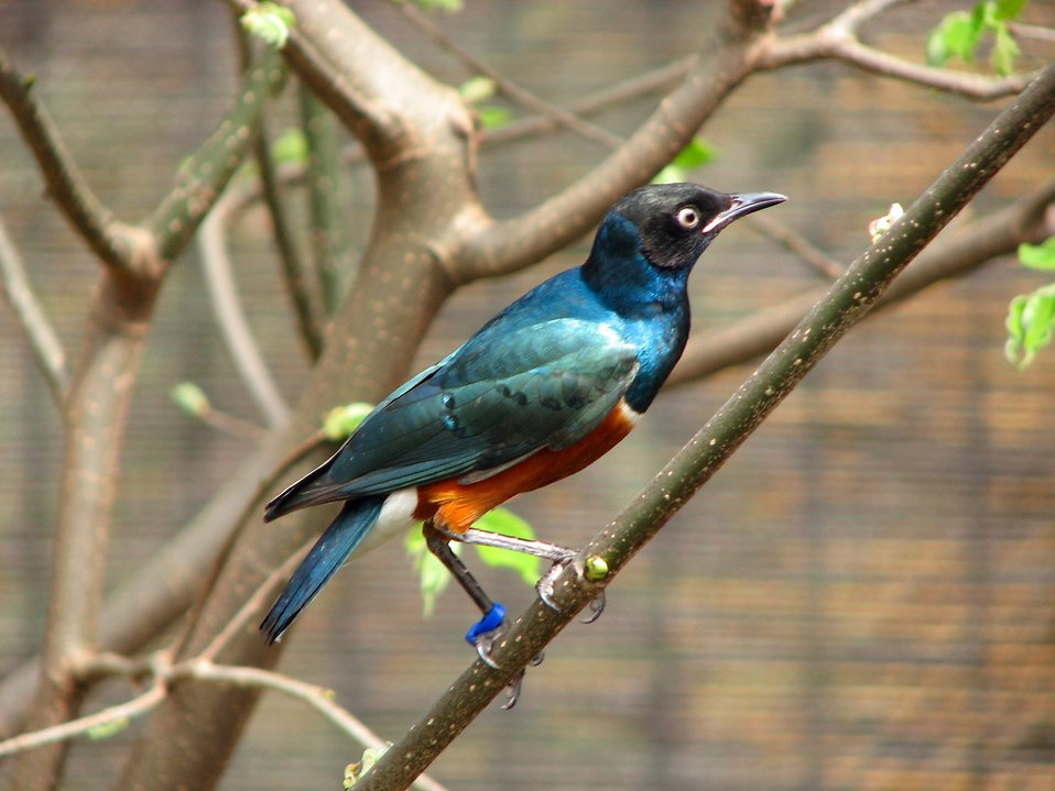 Closeup of a Superb starling perched on a branch : Free Stock Photo