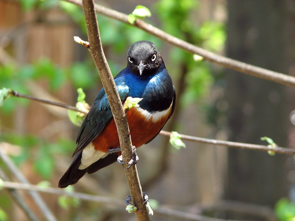 Closeup of a blue and red bird perched on a branch : Free Stock Photo