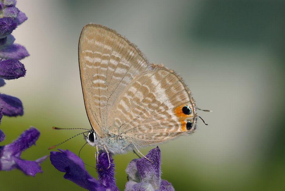 Closeup of a brown peablue butterfly : Free Stock Photo