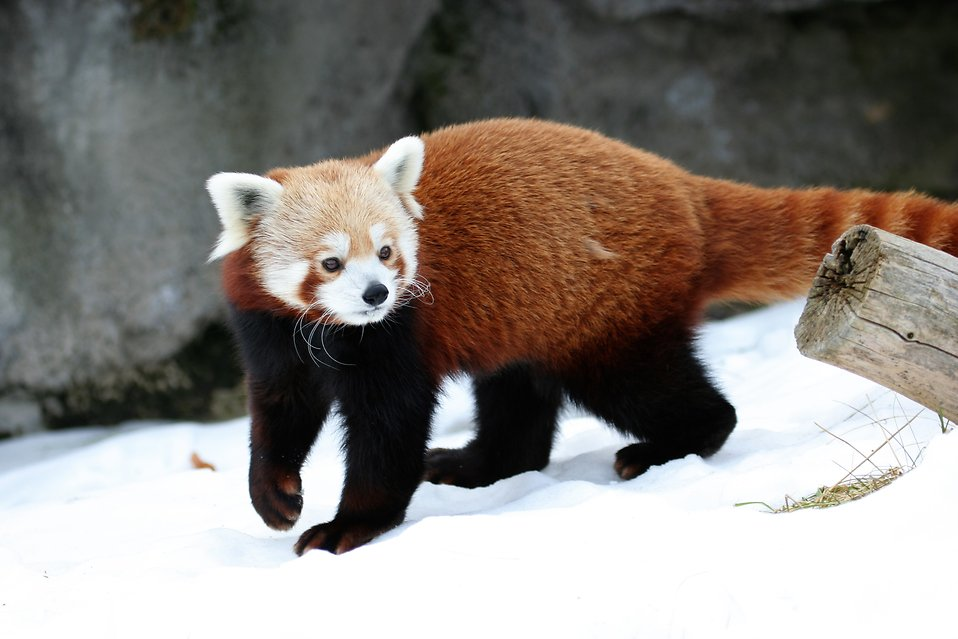 A red panda in the snow : Free Stock Photo
