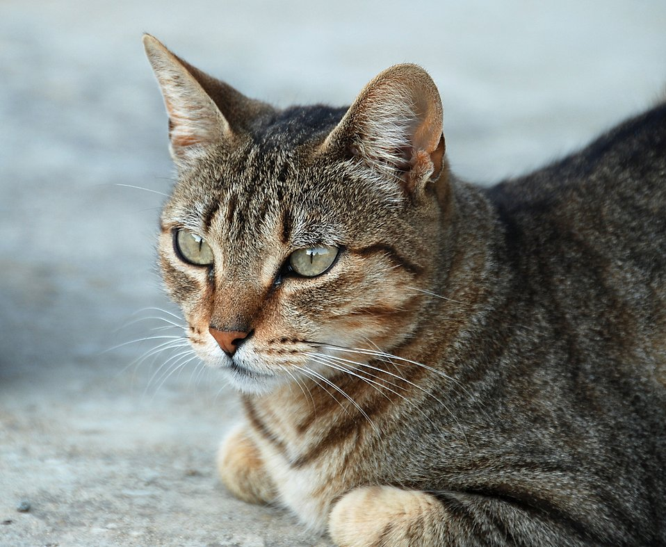 Closeup of a tabby cat : Free Stock Photo