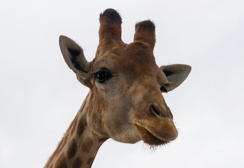 Closeup portrait of a giraffe : Free Stock Photo