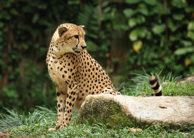 Closeup of a cheetah sitting by a rock : Free Stock Photo