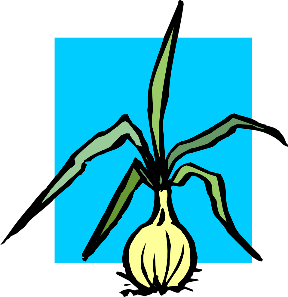 Illustration of an onion.