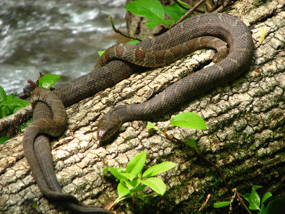 Two snakes on a log by a stream : Free Stock Photo