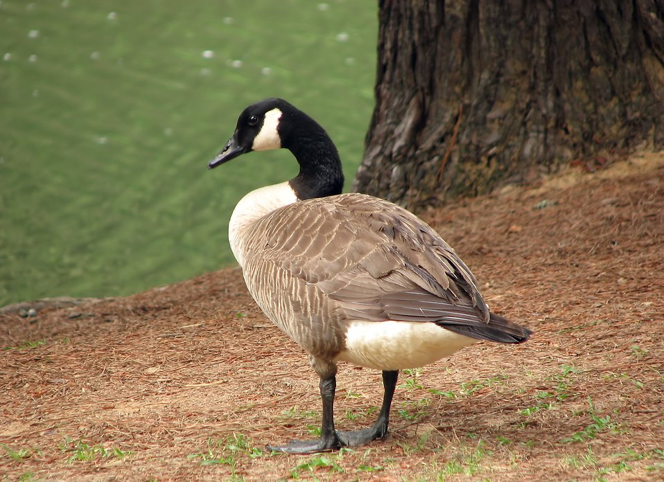 Close-up of a Canadian goose by a lake : Free Stock Photo