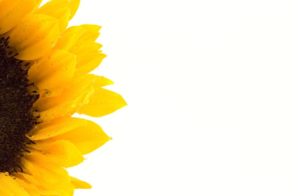 Close-up of an isolated sunflower : Free Stock Photo