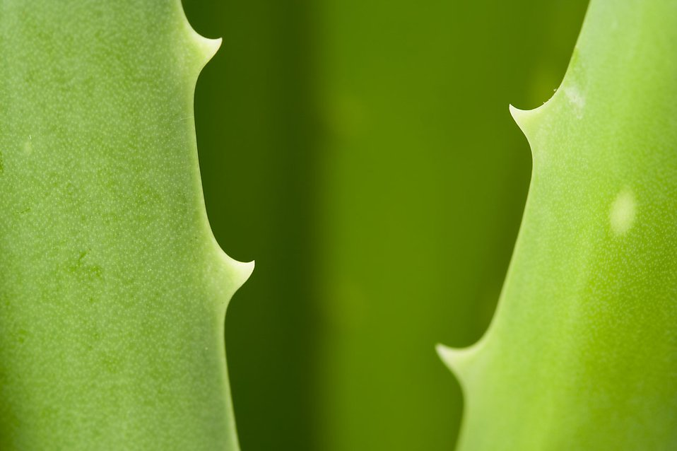 Close-up of aloe vera leaves : Free Stock Photo