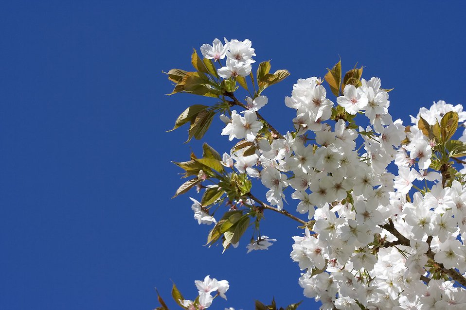 Flowers on a Japanese Cherry tree : Free Stock Photo