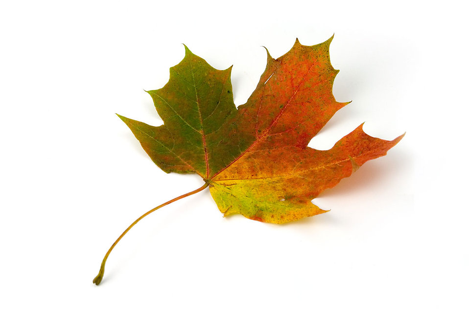 A maple leaf isolated on a white background : Free Stock Photo