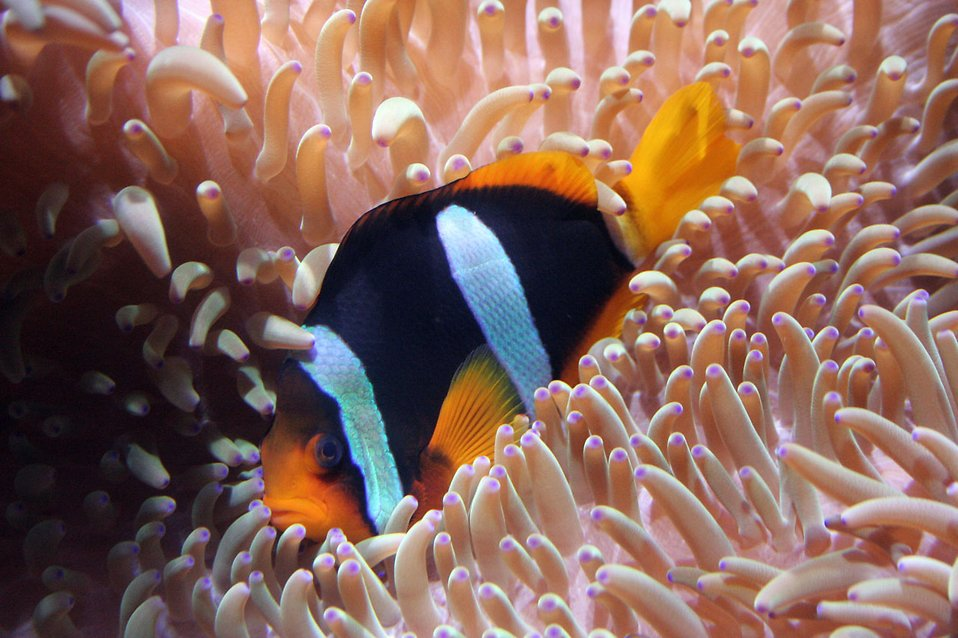 A clown fish in an anemone : Free Stock Photo