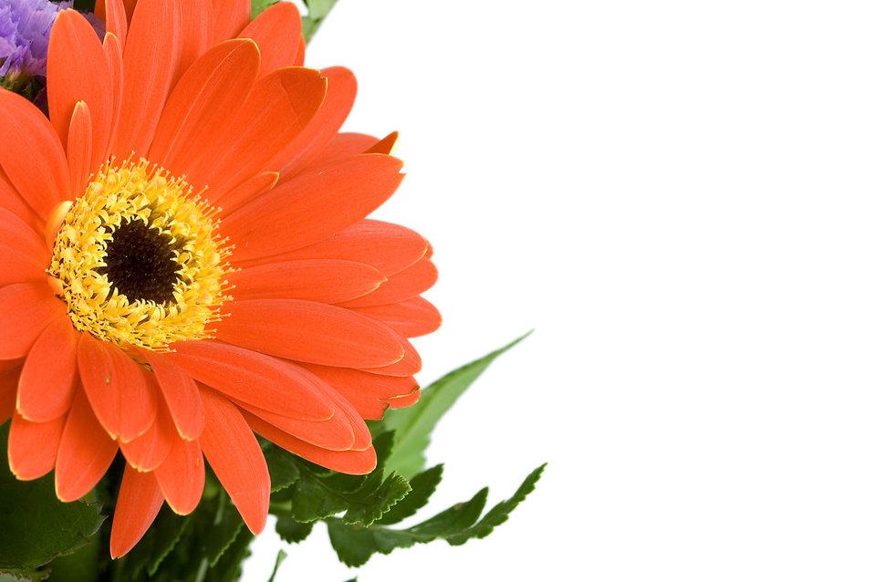 Close-up of a red gerbera flower on a white background : Free Stock Photo