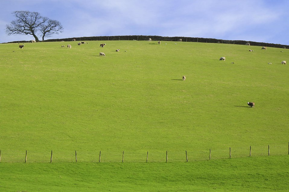A green pasture with sheep under a blue sky : Free Stock Photo