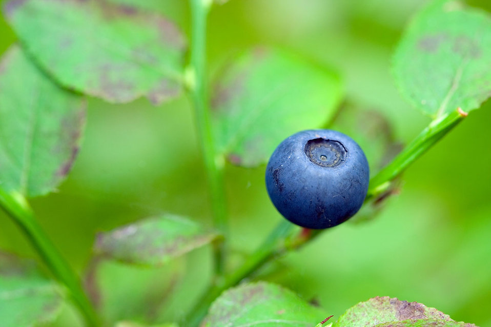 Close-up of a blueberry on a bush : Free Stock Photo