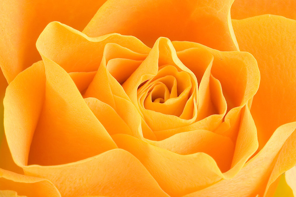 Close-up of a yellow rose : Free Stock Photo