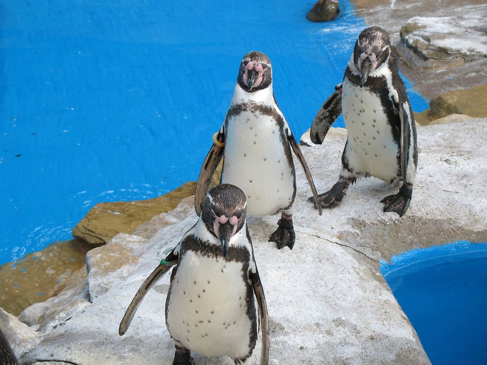 Three penguins standing in a row : Free Stock Photo
