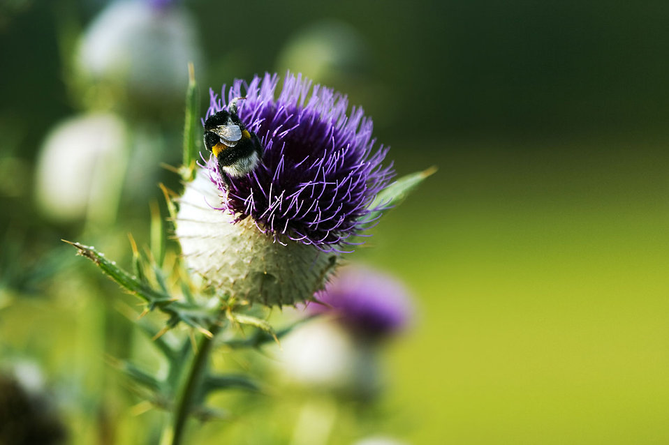A green thistle with a small bumblebee : Free Stock Photo