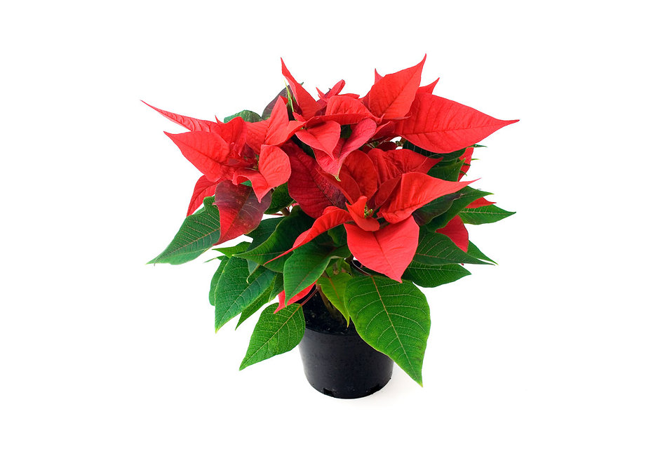A poinsettia isolated on a white background.