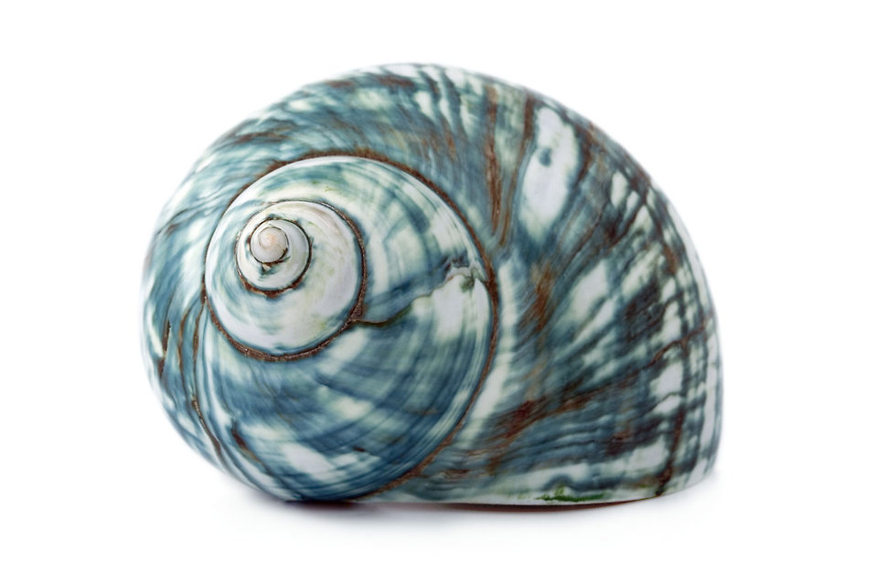 A blue sea shell isolated on a white background : Free Stock Photo