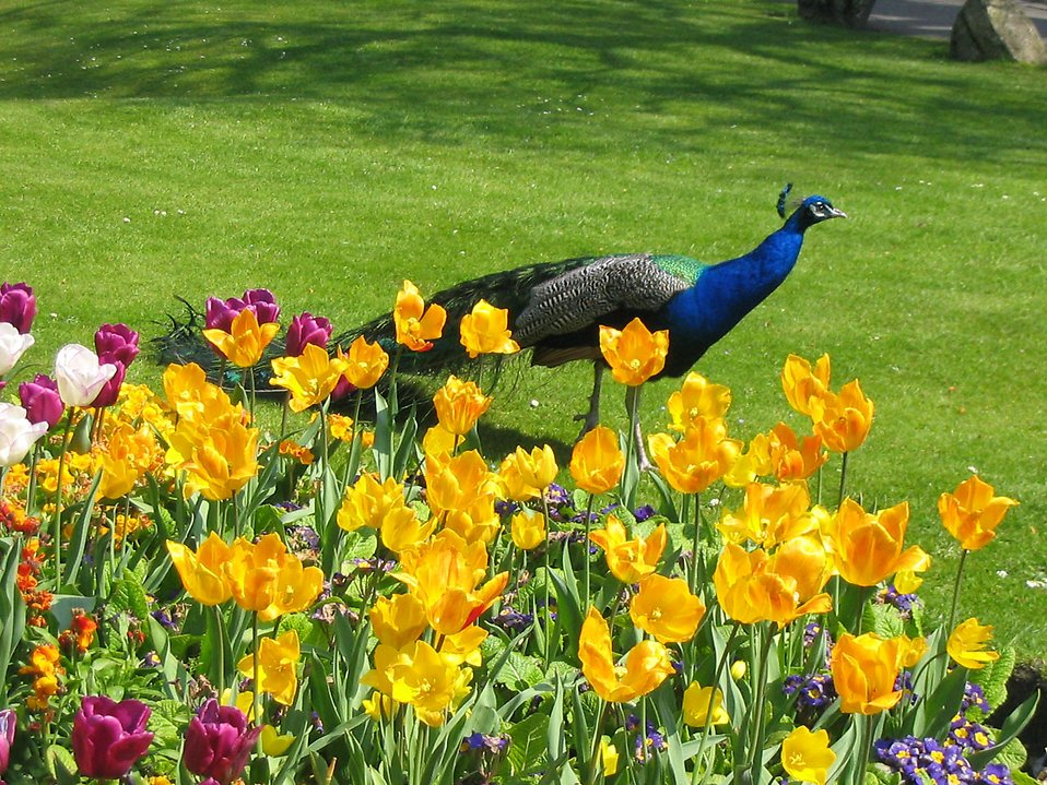 A peacock walking by tulips : Free Stock Photo