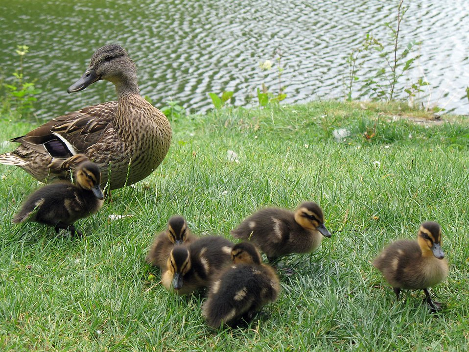 A duck and ducklings by a lake : Free Stock Photo