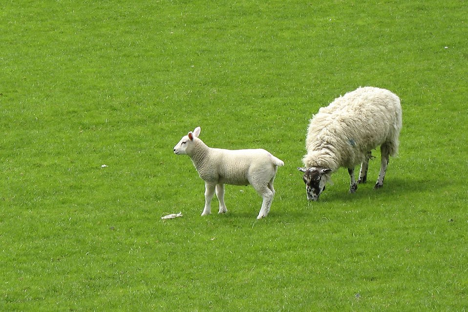 Two sheep in a green field : Free Stock Photo