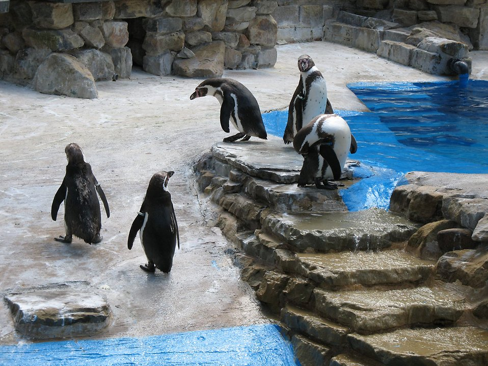 Penguins standing around on rocks : Free Stock Photo