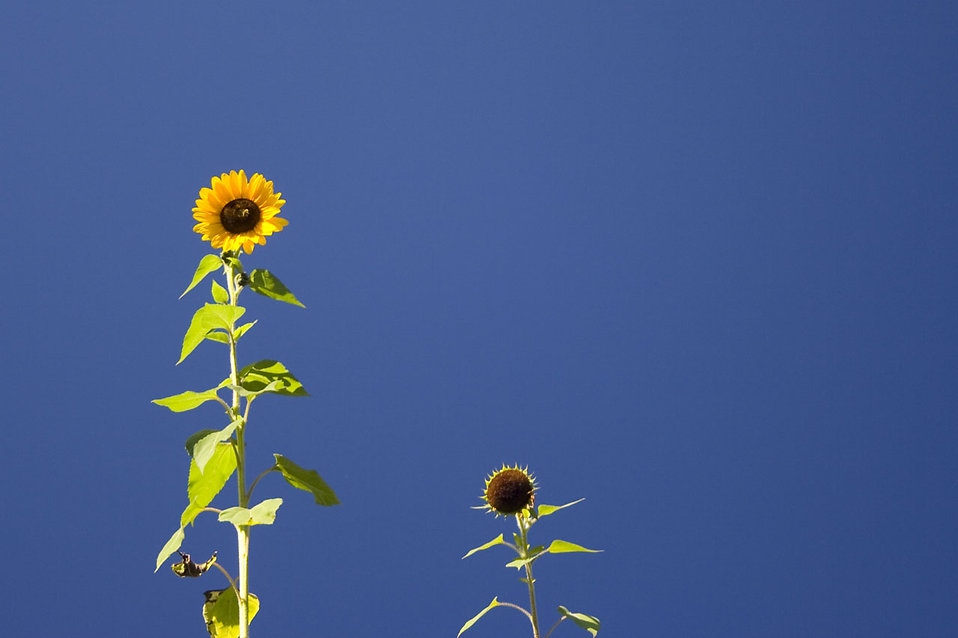 Sunflowers isolated on a blue background : Free Stock Photo