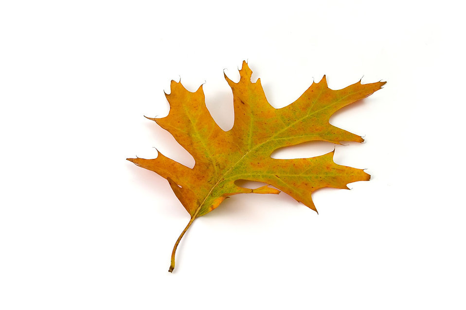A red oak leaf isolated on a white background : Free Stock Photo