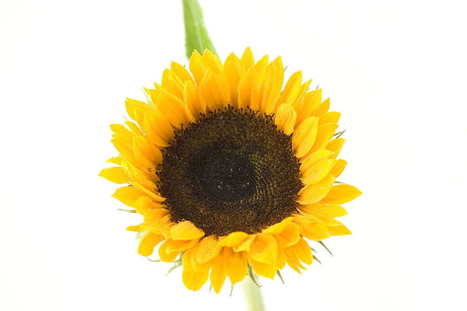 A sunflower isolated on a white background : Free Stock Photo