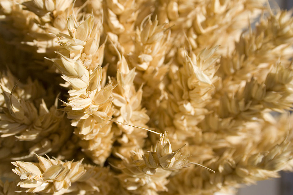 Close-up of yellow grain : Free Stock Photo