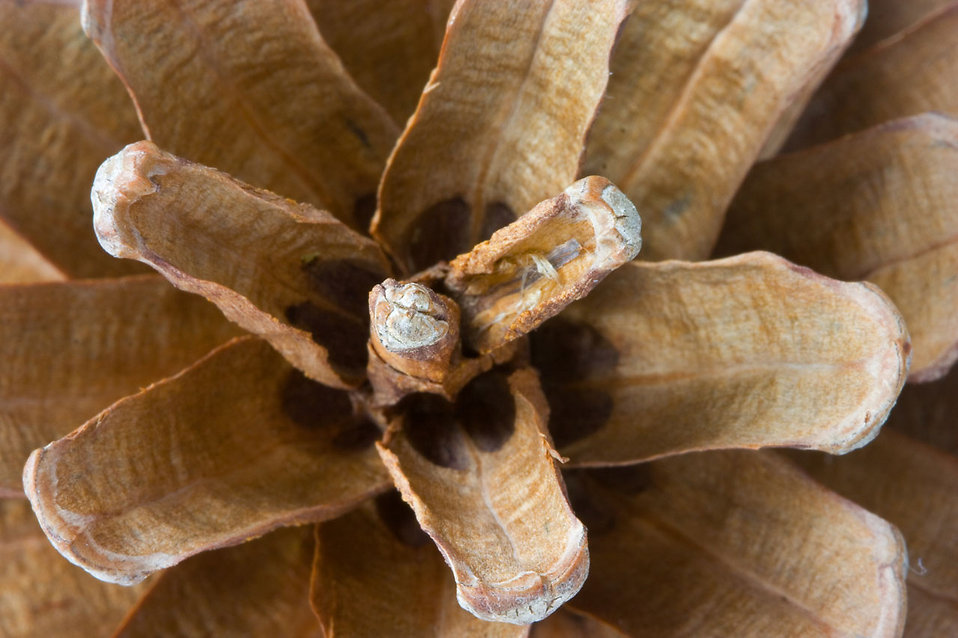 Close-up of a pine cone : Free Stock Photo