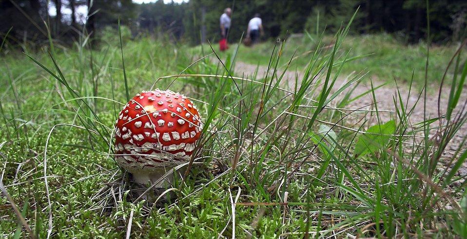 Beatiful tiny fly mushroom in the grass : Free Stock Photo