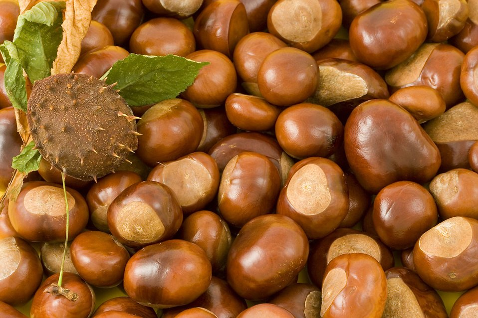 A pile of chestnut conkers : Free Stock Photo