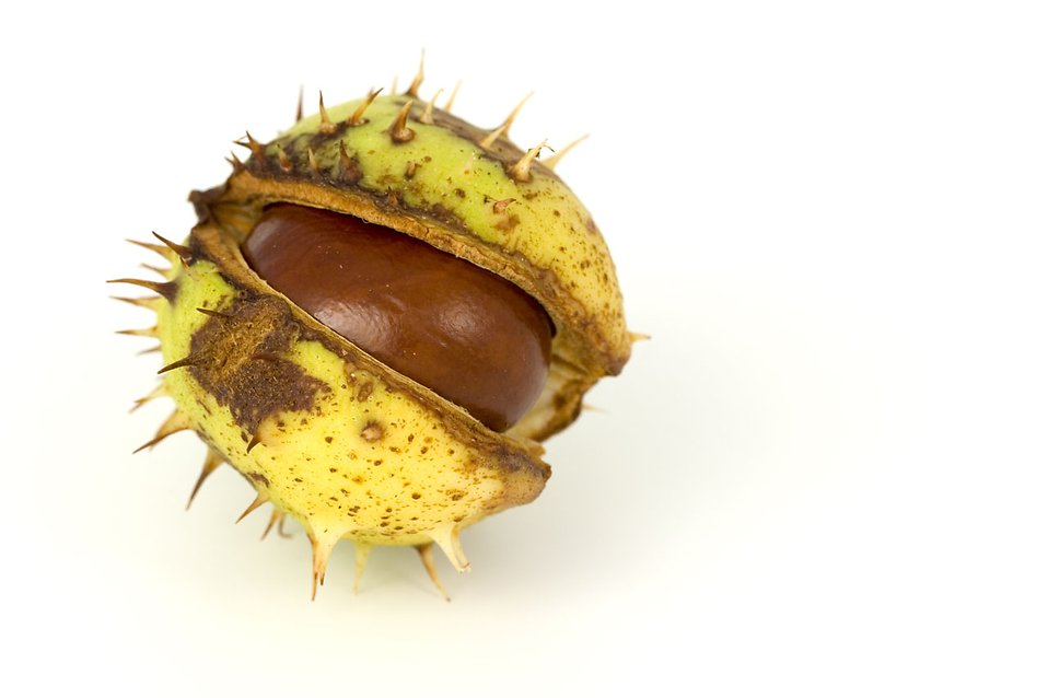 A chestnut conker in its shell isolated on a white background : Free Stock Photo