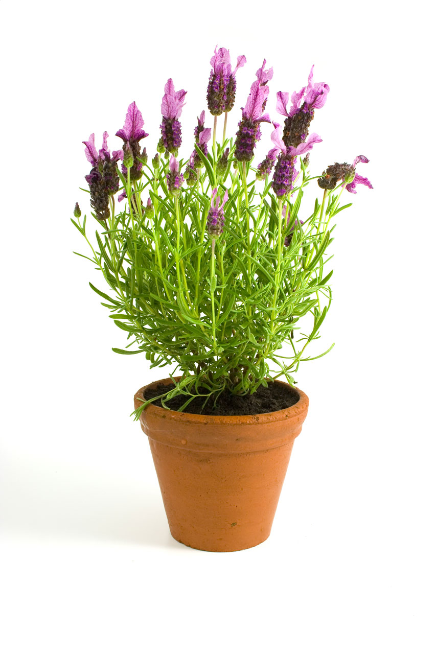 Lavender in a pot isolated on a white background : Free Stock Photo