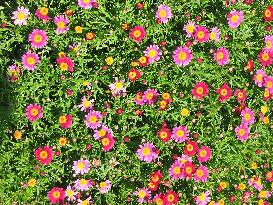 A bunch of small pink daisies : Free Stock Photo