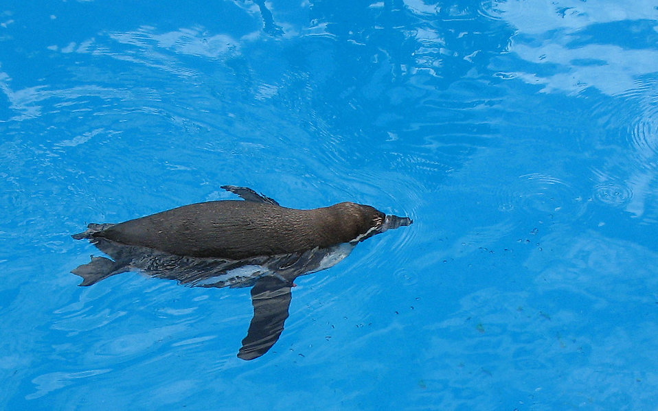 A penguin swimming in water : Free Stock Photo
