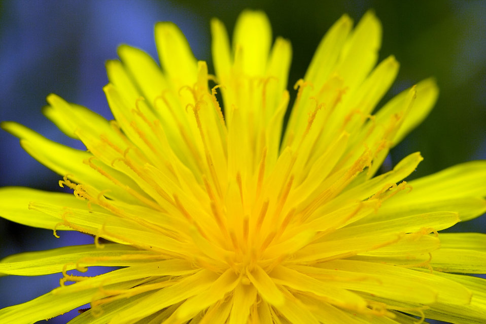 Close-up of a yellow dandelion : Free Stock Photo