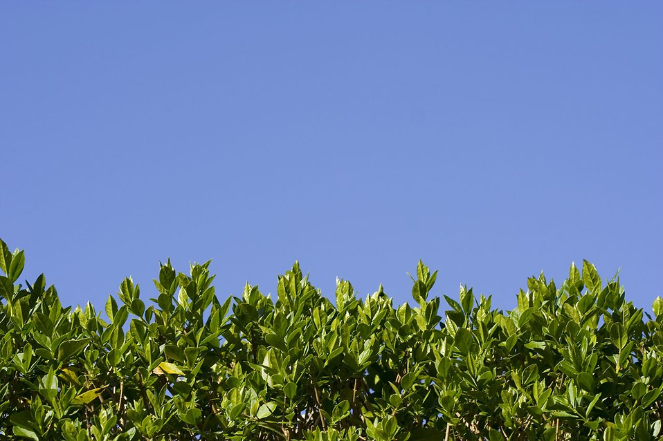 Top of a hedge with a blue sky background : Free Stock Photo